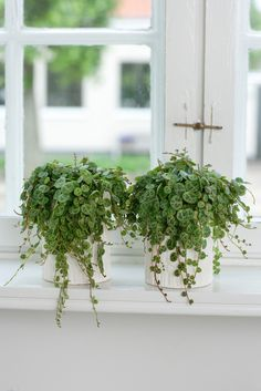 Niedlicher Zwergpfeffer. #pflanzenfreude.de #zwergpfeffer #zimmerpflanze planten in de #vensterbank