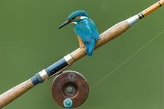 Kingfisher gone fishing by steven  whitehead on 500px