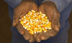 The recent article by John Vidal (Gates foundation spends bulk of agriculture grants in rich cou...