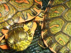 ¿Cómo es la tortuga en las relaciones? | Cuidar de tu mascota es facilisimo.com