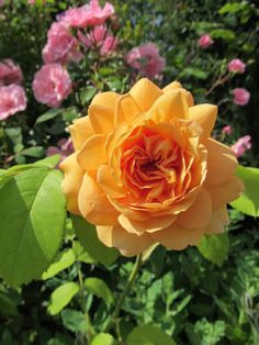 Grace, one of the old fashioned David Austin Roses I grow..