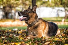 German Shephard Dog Laying ...  Animal Tongue, Animals And Pets, One Animal, Purebred Dog, animal, autumn, canine, color image, day, dog, domestic animals, feline, front view, german shepherd, grass, male animal, mammal, multi colored, no people, outdoors, pets, portrait, protection, security, side view