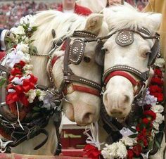 """Boomer and Sooner are the University of Oklahoma's horses that pull a wagon onto the field before every game. """"Boomer Sooner"""" is also the school's fight song. All The Pretty Horses, Beautiful Horses, Animals Beautiful, Beautiful Scenery, Beautiful Things, Beautiful Pictures, Oklahoma Sooners Football, Ou Football, American Football"""