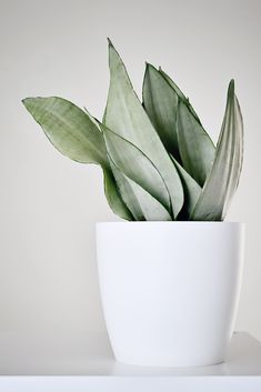 Plantas My plants: Sansevieria trifasciata Moonshine One of the vines that you would probably recogn Sansevieria Trifasciata, Succulents Garden, Garden Plants, Planting Flowers, Snake Plant Care, Silver Plant, Bee Friendly Plants, Moon Shine, Decoration Plante