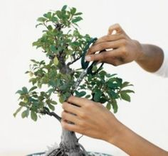 Bonsai pruning techniques. Bonsai trees are not genetically altered to be small. Just normal trees trained properly.