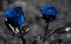 I have really wanted a blue rose tattoo for a while, this would be cool with grey/black stems and leaves.