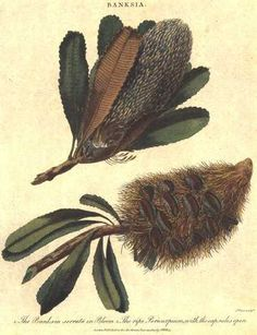 """Australian Banksia Serrata in flower with Pericarpium (seed pod) c1807 by John Wilkes. Hand-coloured copperplate engraving by J. Pass for Arthur Phillips' first official account of """"The Voyage to Botany Bay"""" First Fleet engravings originally published in London."""
