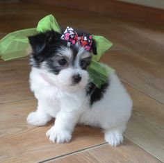 Darling Morkie! So TINY and adorable! www.texasteacuppuppy.com