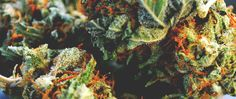 #Terpenes Are the Smart Way to Predict Your High   #cannabis #legalization #marijuana