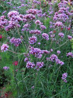 Garten-anders: Pflanzentipp für den Herbst: Hohes Eisenkraut (Verbenia bonariensis)