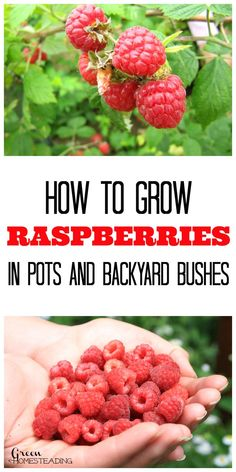 How To Grow Raspberries In Pots And Backyard Raspberry Bushes