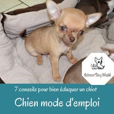 Caractère du Chihuahua - Grisous'Tiny World - Elevage de chihuahua LOF Le Chihuahua, Education Canine, French Bulldog, Dogs, Animals, Important, Chihuahuas, Adopt A Puppy, Dog Supplies