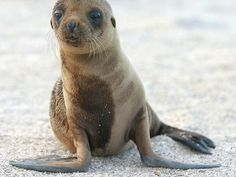 -Photo of the Day: Sea Lion pup steals hearts on Galapagos Islands I will take a mermaid in any form, male, female, cat, DOG See it Animal Captions, Animal Memes, Animal Humor, Animal Sayings, Funny Captions, Hilarious Memes, Funny Quotes, Baby Animals, Funny Animals