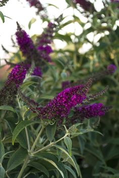 Monrovia's Miss Ruby Butterfly Bush details and information. Learn more about Monrovia plants and best practices for best possible plant performance. Magenta Flowers, Lilac, Monrovia Plants, Plant Catalogs, Butterfly Bush, Trees And Shrubs, Tropical Garden, Shades Of Purple, Shade Garden