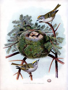 1882 Natural History Bird and Nest
