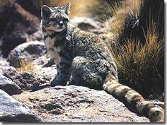EL GATO ANDINO; Tambien conocido como chinchay, es una especie de mamifero carnívoro de la familia felidade, es uno de los felinos menos conocidos y es considerado como la especie más amenazada del continente americano. El gato andino es natural de America del Sur. Su distribución se limita a las regiones montañosas de los andes, centro y sur del Perú, y al norte de Bolívia, Chile y Argentina.