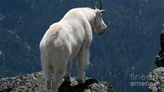 The Moses of Goats