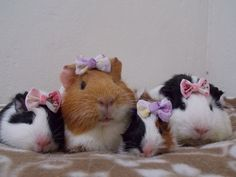four adorable guinea pigs wearing bow ties on their heads