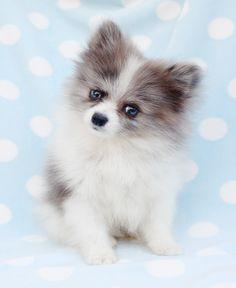 Teacup Pomeranian - looks like a Pomsky - Balto