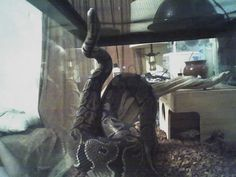 """""""Bubbles""""  16 yr. Old Ball Python I've now re-homed her."""