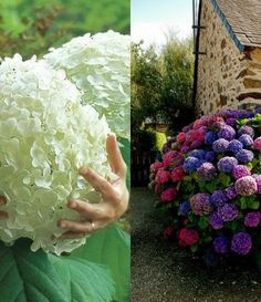 Come aumentare la fioritura delle ortensie