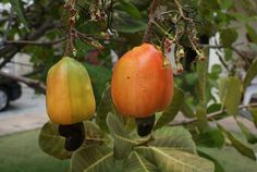 The cashew nut tree is native to Central and South America, the nut grows within an outer shell at the end of an edible fruit known as the cashew apple. Cashew Apple, In The Flesh, Stuffed Peppers, Canning, Vegetables, Fruit, Plants, Food, Gardening
