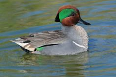 green winged teal | Green-winged Teal Duck Hunting Gear, Waterfowl Hunting, Coyote Hunting, Pheasant Hunting, Archery Hunting, Turkey Hunting, Duck Species, Bird Species, Rooster Breeds