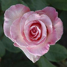 Au Coeur De La Fleur ~ a beautiful heart shaped rose. I Love Heart, Love Rose, My Flower, Pretty Flowers, Heart Flower, Happy Heart, Heart Pics, Humble Heart, Heart In Nature