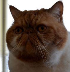 Exotic shorthair Garfield