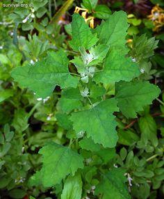 Chenopodium album - cooked leaves and seeds. Bio-accumulator of Nitrogen, Phosphorous, Potassium, Calcium & Manganese.