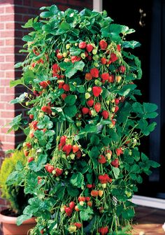 25 Whopper strawberry plants PLUS 2 Growin' Bags to hang them for vertical growth - only $15 - Neat!