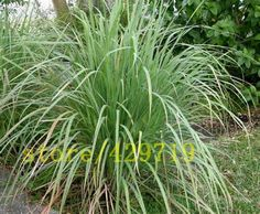 100 pcs Heirloom Lemon Grass Seeds, spearmint mint seeds herb seeds for medical and eat rare seeds gift from nature