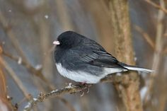 Dark-eyed Junco Pictures and Photos - Photography - Bird ...