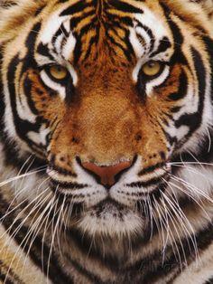 Bengal Tiger Face, Panthera Tigris, Asia Impressão fotográfica por Adam Jones na AllPosters.com.br