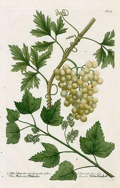 Vitis selinoides, Grapes USD $295 Sale Price: $185 Johann Weinmann Original Engravings 1745