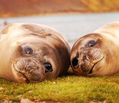 Say hello and to my and to Elephant Seal, Like Animals, Antarctica, Say Hello, Travel Inspiration, Shape, Travel, Fit