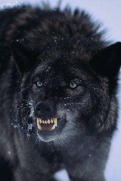 black wolves - Bing Images