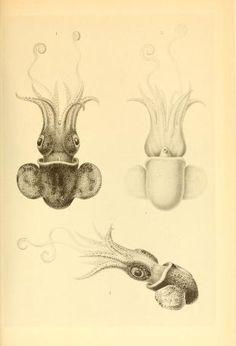 atlas - The Cephalopoda / - Biodiversity Heritage Library