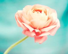 Hey, I found this really awesome Etsy listing at https://www.etsy.com/listing/150133556/still-life-flower-photography-ranunculus