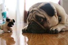Sometimes pugs just need a head pick-me-up. Or not: they're so cute like this!