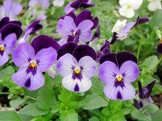 Amor-perfeito (Viola tricolor)