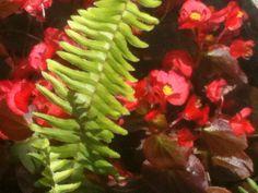Red begoniia
