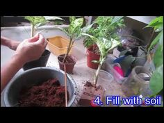Dieffenbachia/ Dumb Cane - How to repot - YouTube Dumb And Dumber, House Plants, Beautiful Homes, Tutorials, Gardening, Youtube, House Of Beauty, Indoor House Plants, Lawn And Garden