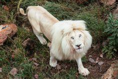 Lion :: Shambala :: South Africa