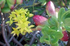 Succulent in bloom (2 of 6)