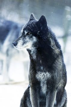 snow winter Black and White wolf nature wolve gray wolf falling snow Beautiful Creatures, Animals Beautiful, Cute Animals, Wolf Spirit, My Spirit Animal, Wolf Pictures, Animal Pictures, Wolf Hybrid, Beautiful Wolves