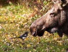 moose chat