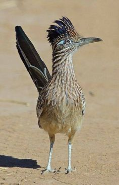 Road runner - new mexico's state bird Pretty Birds, Love Birds, Beautiful Birds, Animals Beautiful, Hello Beautiful, Nature Animals, Animals And Pets, Cute Animals, Texas Animals