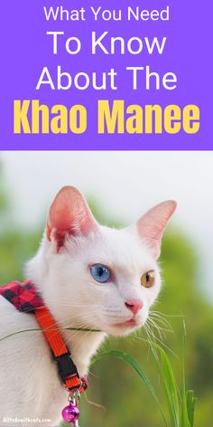 Discover everything you need to know about the Khao Manee cat and if this the right breed for you. This is one of the rare cat breeds that has odd eyes and mostly found in Thailand. Short Hair Cat Breeds, Short Hair Cats, Rare Cats, Cats And Kittens, Small Cat Breeds, Cat With Blue Eyes, Kitten Care, Russian Blue, All About Cats