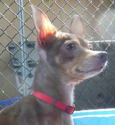 """Delicate 5.3-pound 2 year old who entered the shelter with her brother MARS.  She and her brother are """"frequent fliers"""" at the Give a Dog a Home--ReTail Adoption Center each week where they are featured in off-leash play areas and do very well with..."""